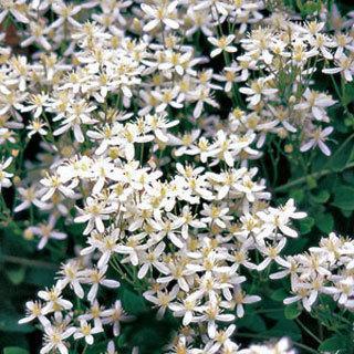 Sweet Autumn Clematis terniflora Clematis Plant