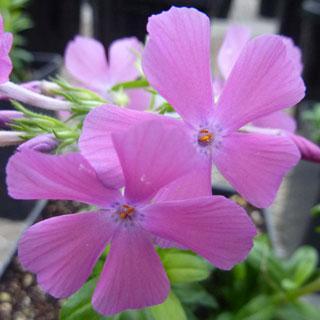 Paparazzi™ Lindsay Phlox Plants