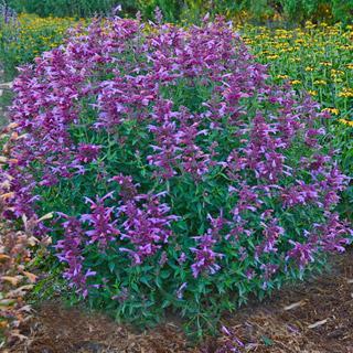 Rosie Posie Agastache Anise Hyssop Plant
