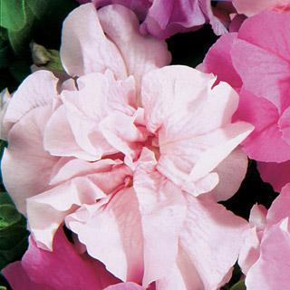 Petunia Double Cascade Pink Hybrid