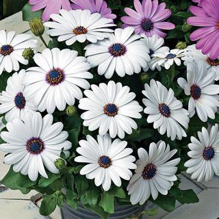 Osteospermum Asti™ White