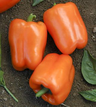 Pepper Orange Blaze Hybrid
