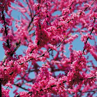 Appalachian Red Cercis canadensis Redbud Tree