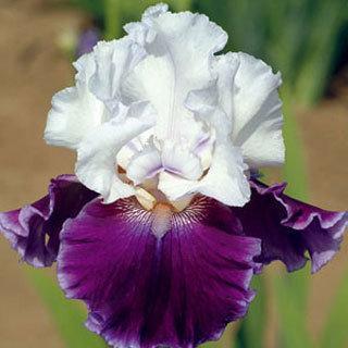 Snowcap Leucanthemum Shasta Daisy Plant