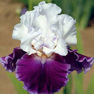 Royal Snowcap Tall Bearded Iris Plant
