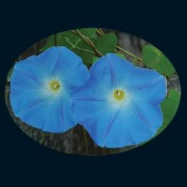 Clark's Heavenly Blue Morning Glory