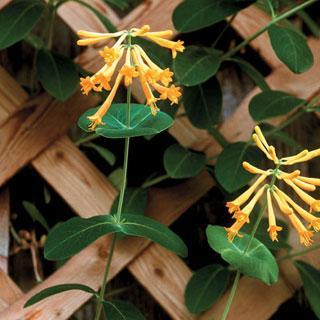 John Clayton Lonicera Honeysuckle Plant