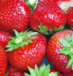Eclair Junebearer Strawberry Plants - 10 root divisions