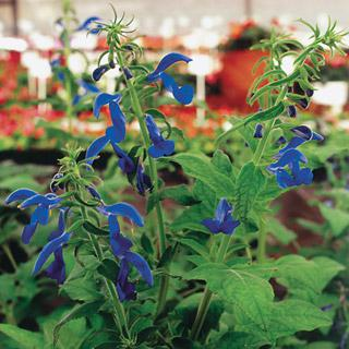 Salvia Blue Angel