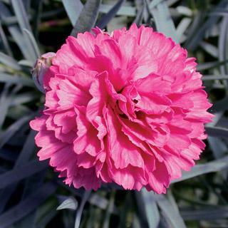 Dianthus Early Bird™ Sherbet