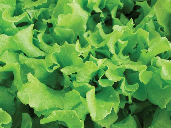 Henderson's Black Seed Lettuce