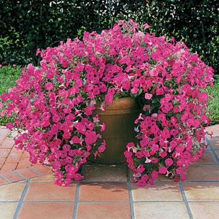 Tidal Wave™ Hot Pink Petunia Annual Plant