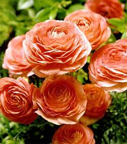 Salmon Tecolote® Ranunculus - 10 bulbs