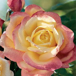 Bella'roma Yellow-Pink Hybrid Tea Rose
