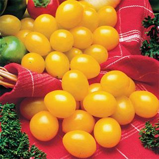Ildi Tomato Plant
