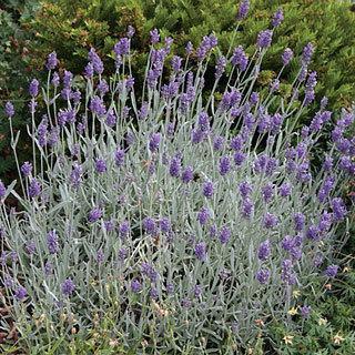 Silver Mist Lavandula angustifolia English Lavender Plant