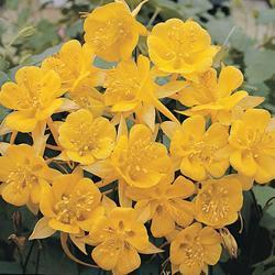 Aquilegia chrysantha 'Yellow Star'