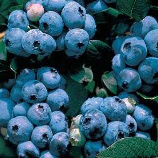 Tophat Vaccinium Blueberry Plant