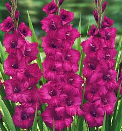 Plum Tart Super Jumbo Gladiolus - 5 bulbs