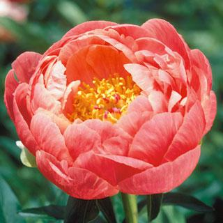 Coral Charm Peony Plant