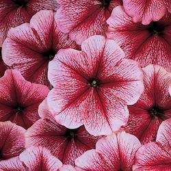 Petunia x hybrida 'Strawberry Sundae' F1 Hybrid