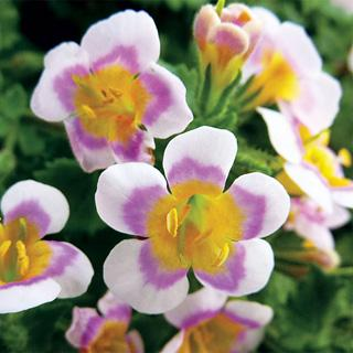 Boutique™ Tie-Dye White Bacopa Plants (pack of 6)