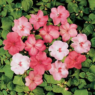 Impatiens Shady Lady Blushing Beauties Hybrid Mix