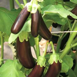 Eggplant Orlando F1 Hybrid