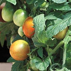 Tomato Tumbling Tiger (Bush/Basket)