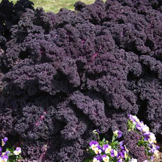 Kale Redbor Hybrid