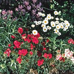 All-Perennial Mix Wildflowers