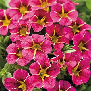Calibrachoa Superbells® Cherry Star