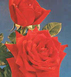 Red Masterpiece Hybrid Tea Rose - 1 bare root plant