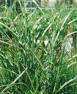 Strictus Maiden Grass - 3 plugs