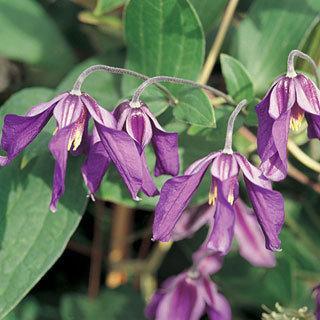 Petit Faucon™ Clematis Virgin's Bower Plant