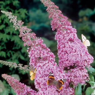 Butterfly Bush Miss Butterfly