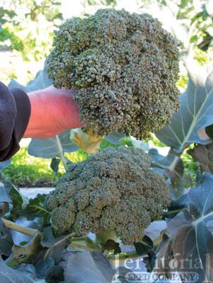 Blue Wind Broccoli
