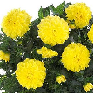 Hypnotica® Yellow Dahlinova Dahlia Plant