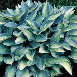 June Hosta Plant