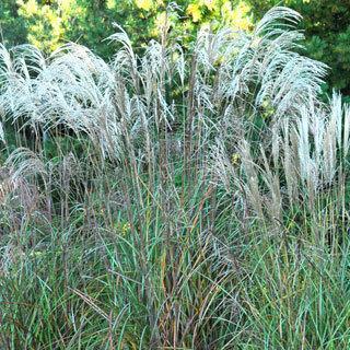 Huron Star Miscanthus sinensis Grass Plant