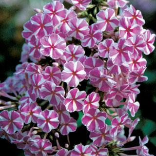 Natascha Garden Phlox Plant