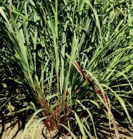 Lemon Grass, East Indian (Seeds)