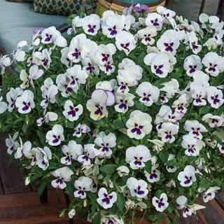 Wonderfall™ Lavender Picotee Pansies