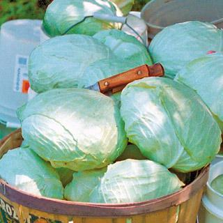 Cabbage Tropic Giant Hybrid