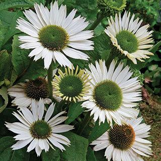 Virgin Echinacea Coneflower Plant