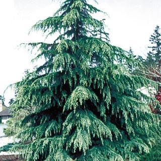 Karl Fuchs Cedrus deodora Cedar Tree