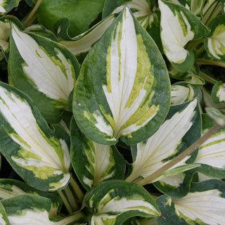Trifecta Hosta Plant
