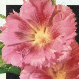 Majorette Double Champagne -hollyhock