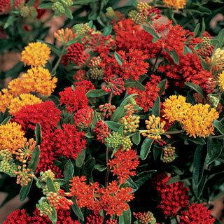 Gay Butterflies Asclepias tuberosa Butterfly Weed Mix Plant