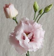 Cinderella Pink (F1) (Pelleted)